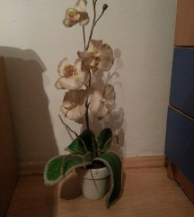 Vestacka nova Orhidea bela so svetki