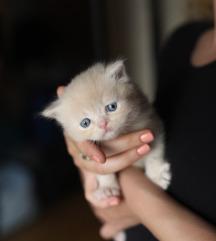 Persian Kittens on Sale