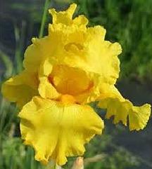 цвеќе Ирис